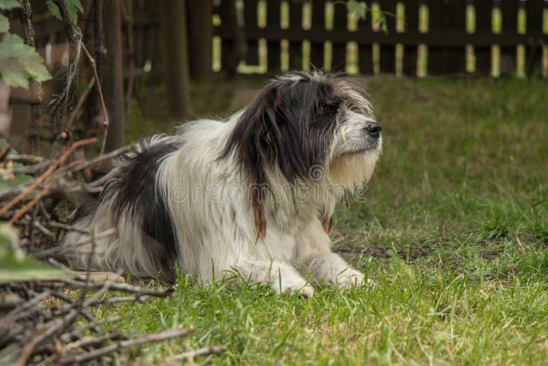 Собака Mioritic Румынии стоковая фотография rf