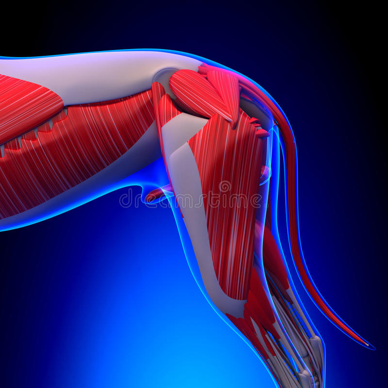 Собака Muscles анатомия - анатомия мышц собаки мужчины иллюстрация штока