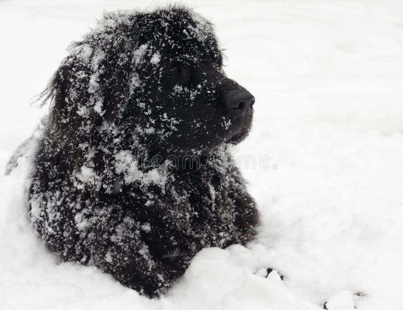 собака newfoundland стоковое изображение