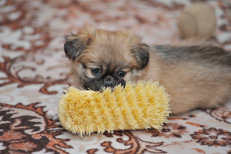 Собака Pekingese бежать в доме стоковая фотография rf