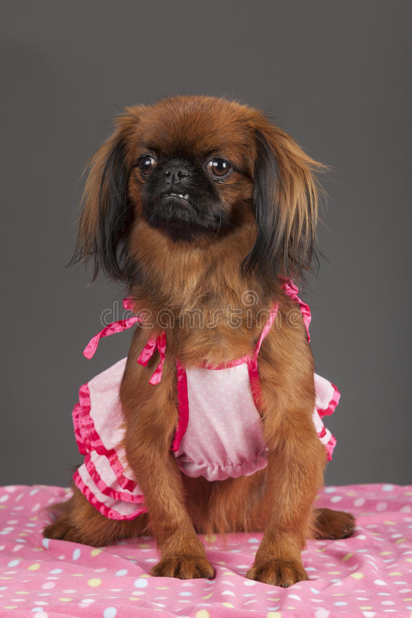 собака pekingese стоковые изображения rf
