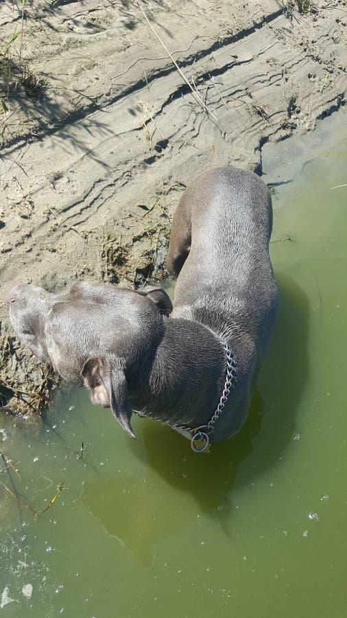 Собака Pitbull вне плавая стоковые изображения