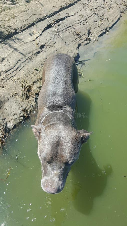 Собака Pitbull вне плавая стоковая фотография rf