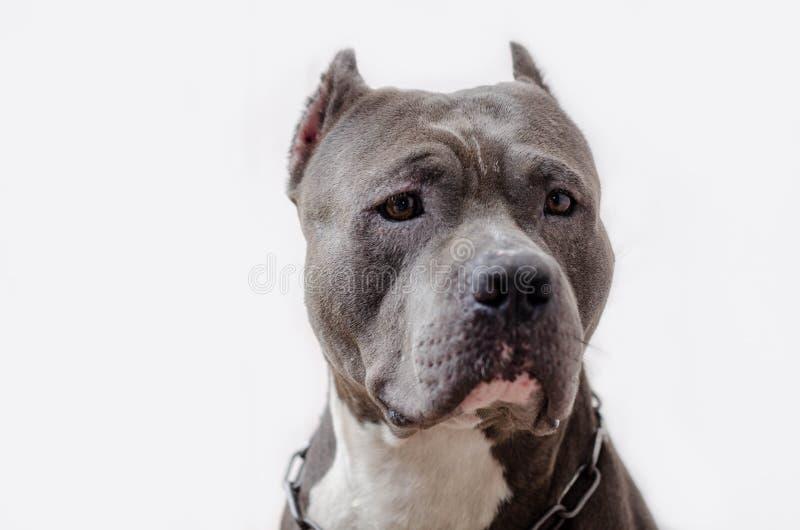Собака Pitbull стоковые изображения
