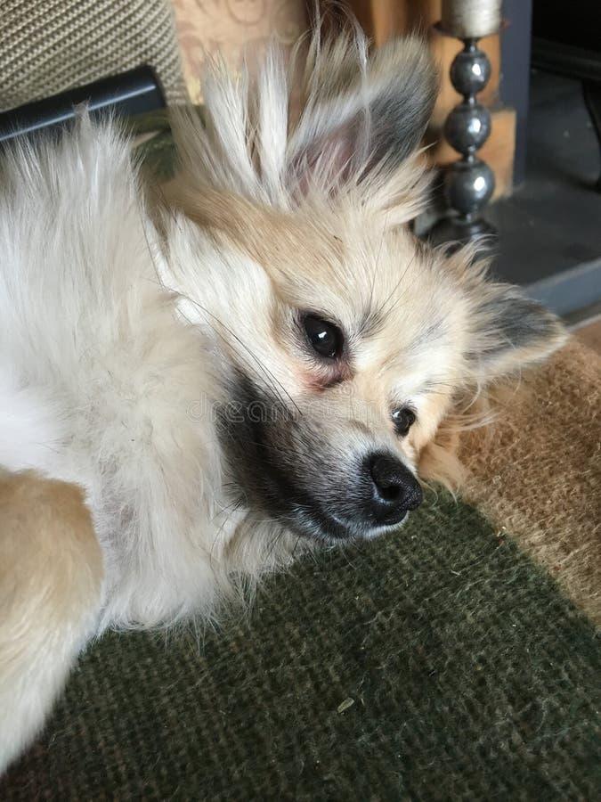Собака Pomeranian предусматривая жизнь стоковое фото rf