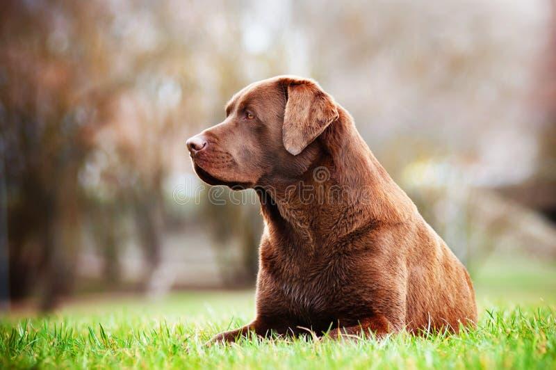 Собака retriever Лабрадора outdoors стоковое фото