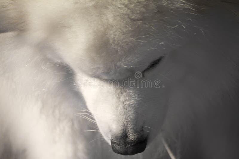 Собака Samoyed при голова обхватыванная вниз стоковое изображение