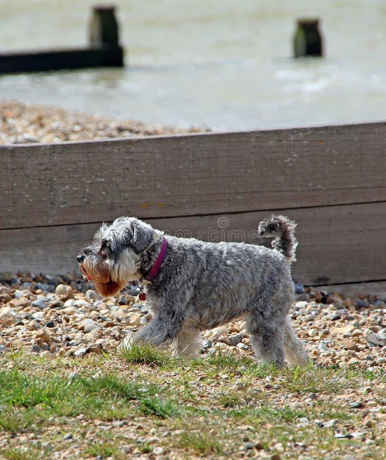 Собака Schnauzer на пляже стоковое изображение