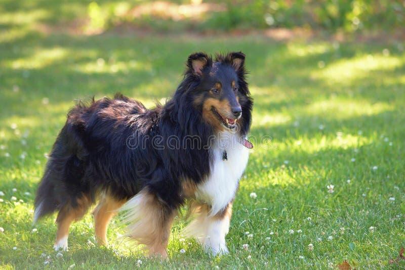 Собака Sheltie в траве летнего времени стоковое фото
