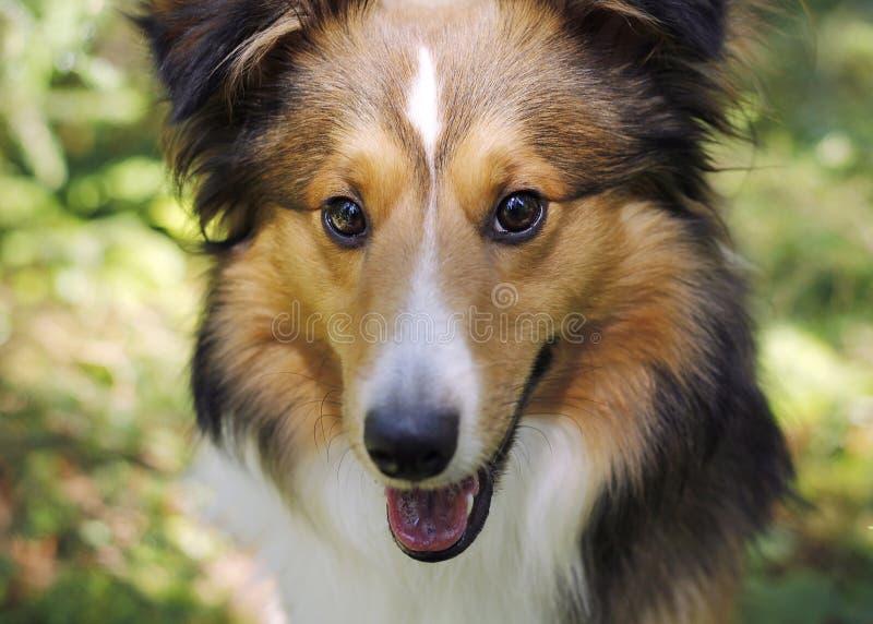 Собака Shetland стоковое фото