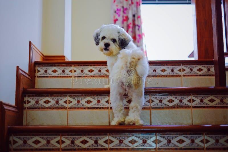 Собака Shih Tzu идя вверх по лестницам стоковое фото rf