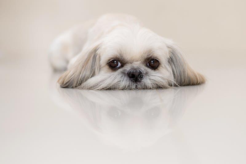 Собака Shih Tzu маленький лев стоковое изображение