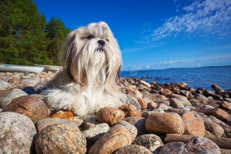 Собака Shih-tzu стоковые фото