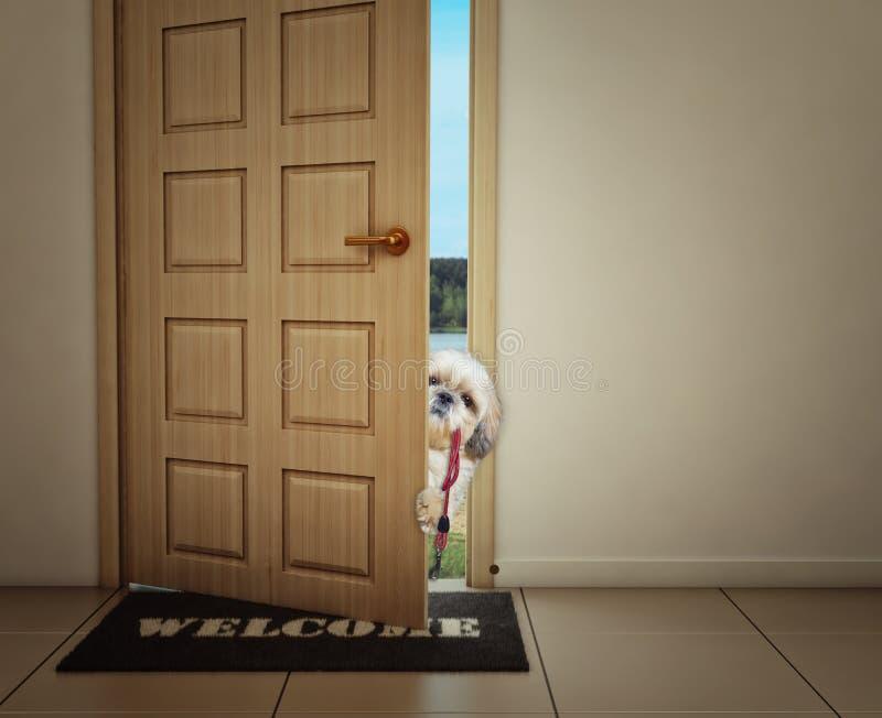 Собака Shitzu ждать около двери с кожаным поводком, подготавливает для того чтобы пойти для прогулки с его предпринимателем стоковые фотографии rf