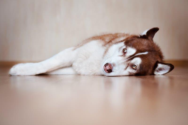 Собака siberian лайки Брайна отдыхая внутри помещения стоковые изображения rf