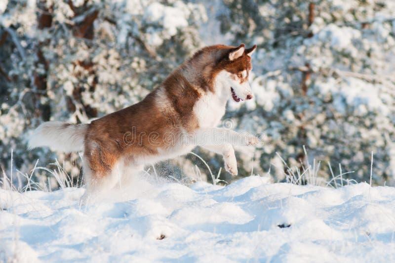 Собака siberian лайки Брайна скачет в снежок стоковое фото rf