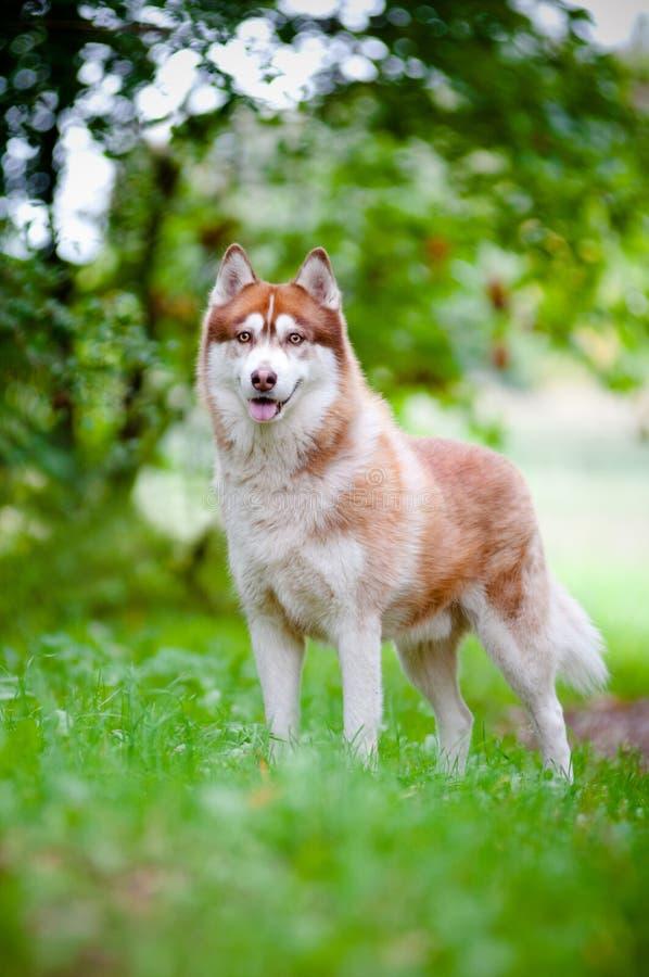 Собака Siberian лайки outdoors стоковое изображение