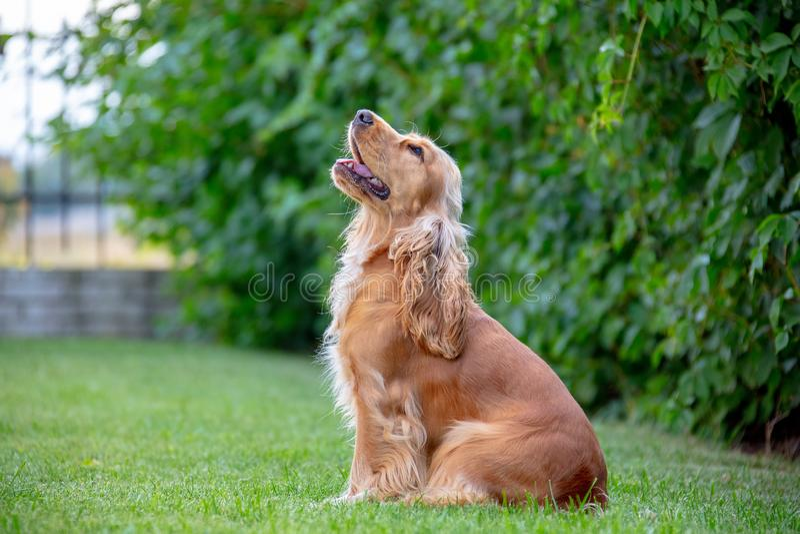 Собака Spaniel американского кокерспаниеля в парке стоковые изображения