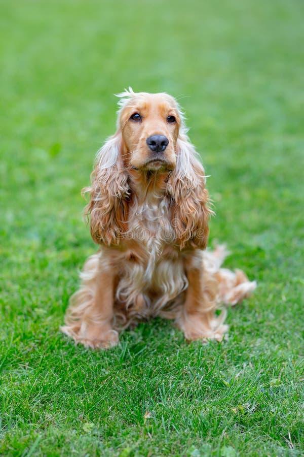 Собака Spaniel американского кокерспаниеля в парке стоковые фотографии rf