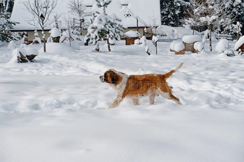 Download Собака St Bernard стоковое фото. изображение насчитывающей удар - 37930666