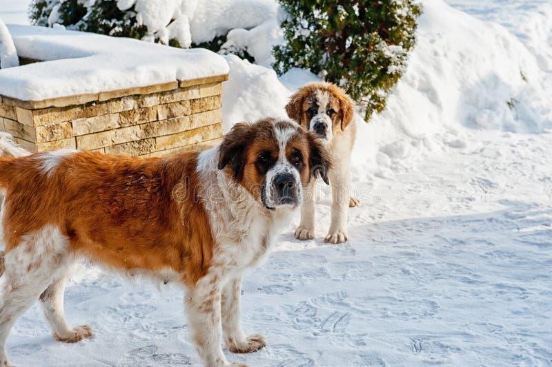 Download Собака St Bernard стоковое изображение. изображение насчитывающей зима - 37931073