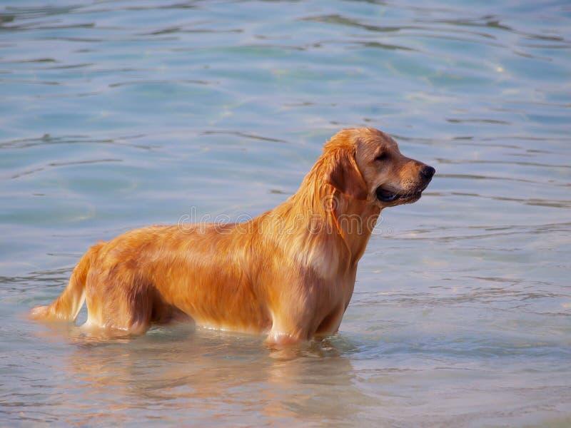 Собака Th счастливая для того чтобы сыграть в море стоковая фотография