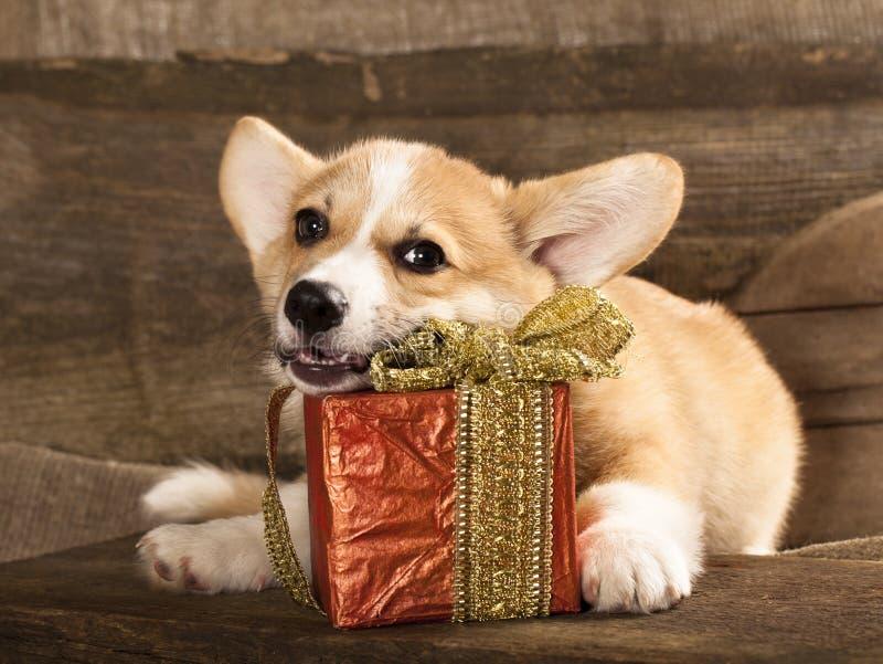 собака welsh corgi стоковое изображение rf