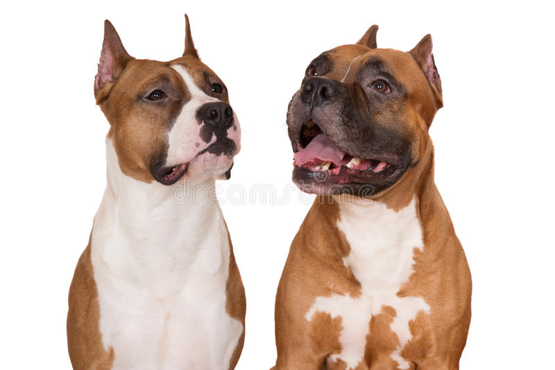 2 собаки американского терьера на белизне стоковое фото