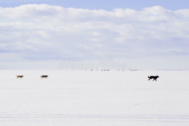 Собаки бежать на белом снеге стоковые фото