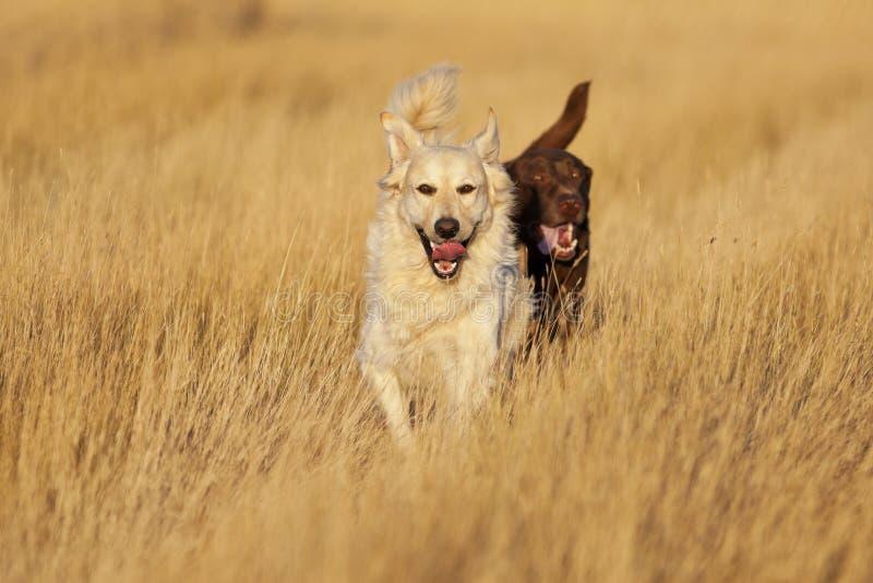 Собаки бежать на золотом часе стоковые фотографии rf