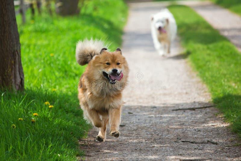 2 собаки бежать на путе страны стоковое изображение