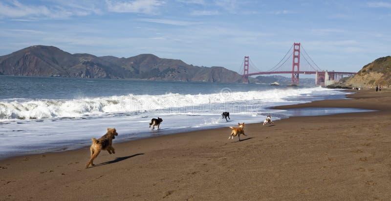 Собаки бежать на хлебопеке ` s Сан-Франциско приставают к берегу стоковые фотографии rf
