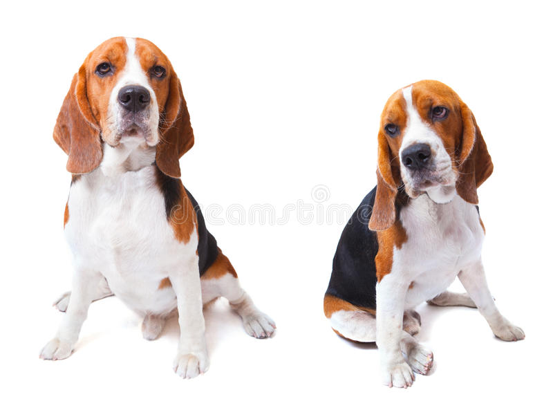 2 собаки бигля сидя на белой пользе предпосылки для животных и стоковая фотография