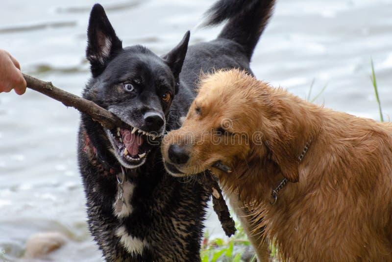 2 собаки воюя над ручкой стоковые изображения rf