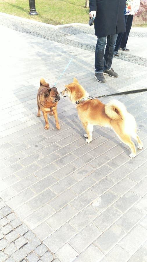 2 собаки встречали на улице и обнюханный один другого, предпосылка серая плитка мостовой собака разводит мопса и inu Акита стоковое фото rf