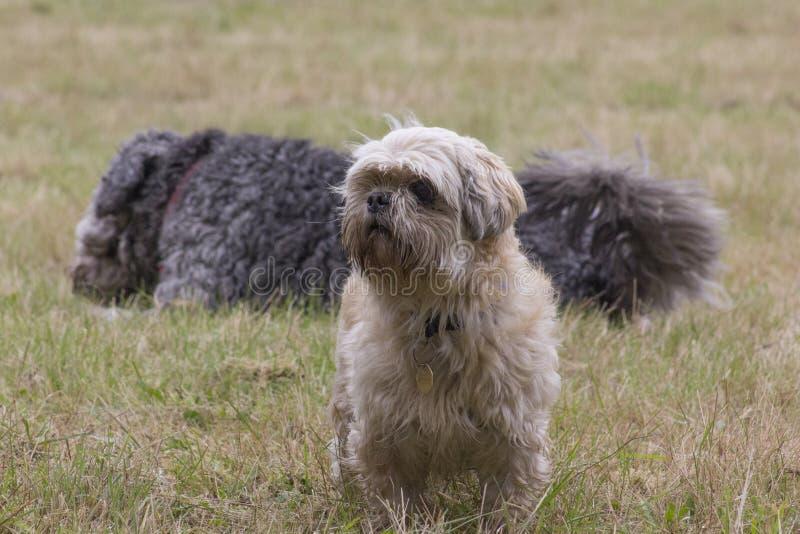 Собаки в траве стоковое изображение rf