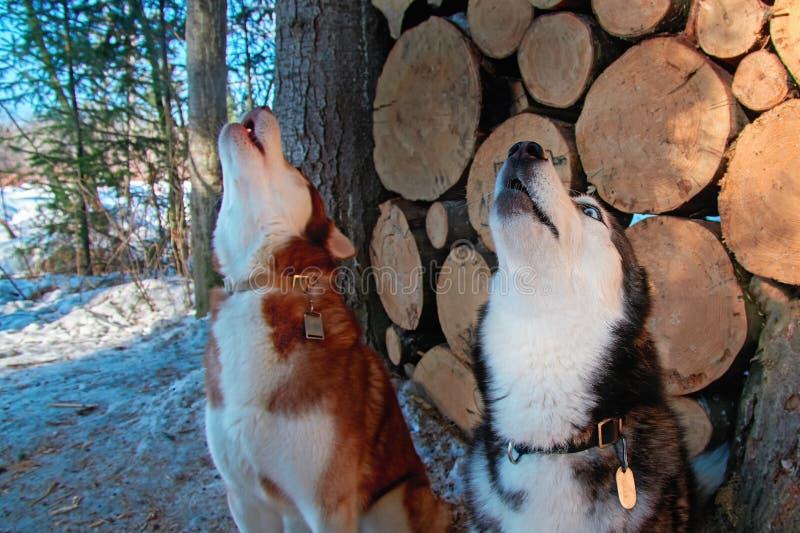 Собаки завывать на woodpile предпосылки Взгляд со стороны завывая головы сибирской лайки стоковая фотография