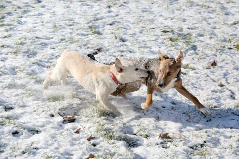 2 собаки играя в парке снега стоковые фотографии rf