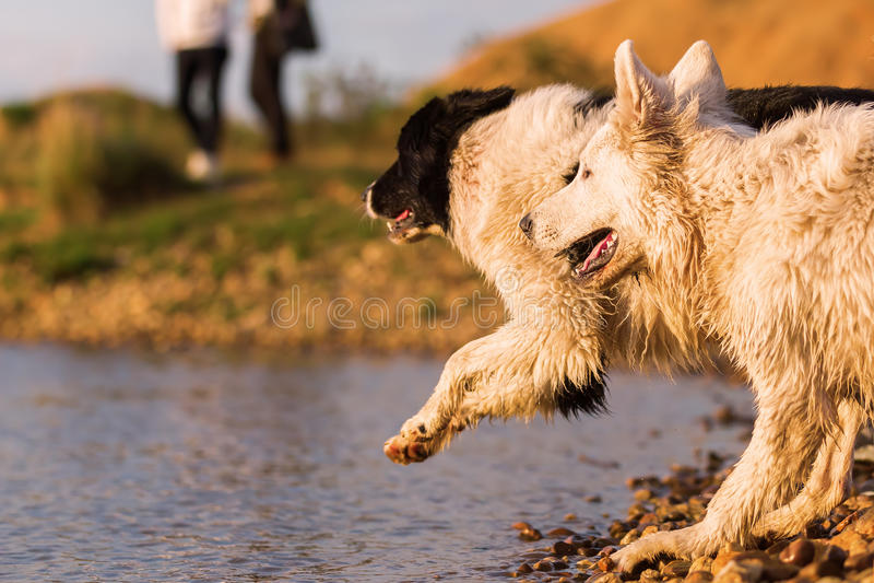 2 собаки играя на озере стоковые изображения