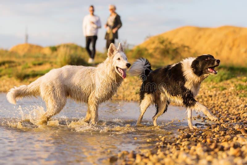 2 собаки играя на озере стоковые фотографии rf