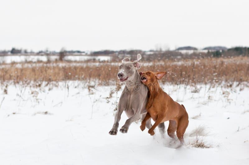 собаки играя снежок 2 стоковая фотография