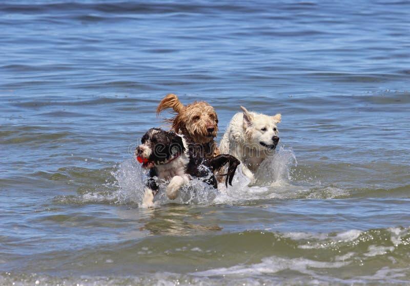3 собаки играя с шариком на пляже стоковое фото rf