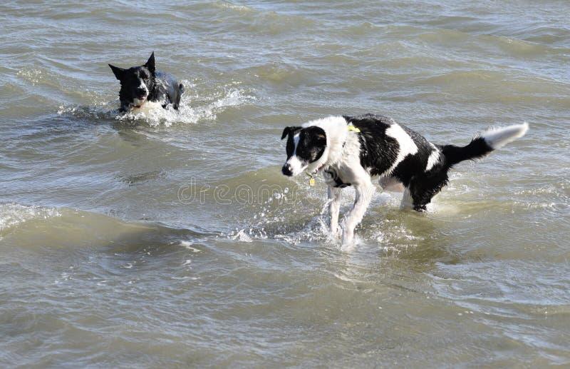 Собаки Коллиы перекрестные плавая в море стоковое фото rf