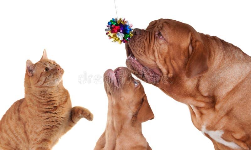 собаки кота играя 2 стоковые фотографии rf