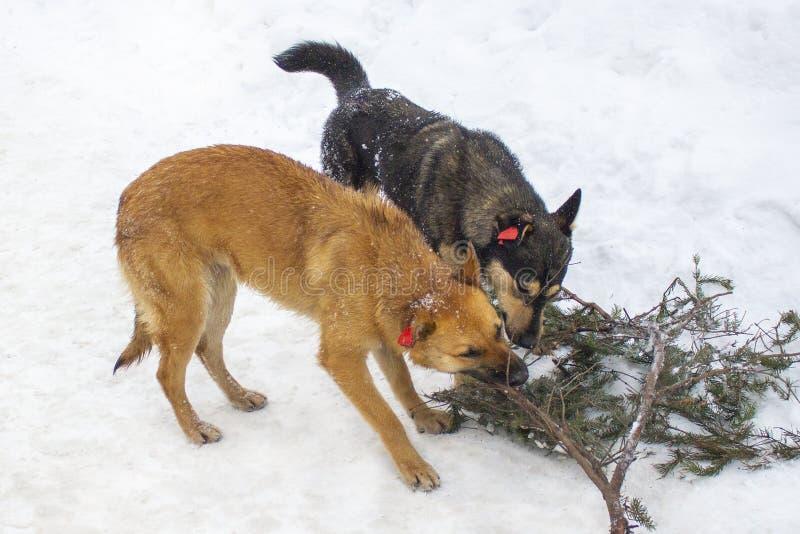 2 собаки, красный и черный, грызут одну ветвь ели в зиме Собаки с обломоками на их ушах, аутбредными привитыми откалыванными живо стоковая фотография rf