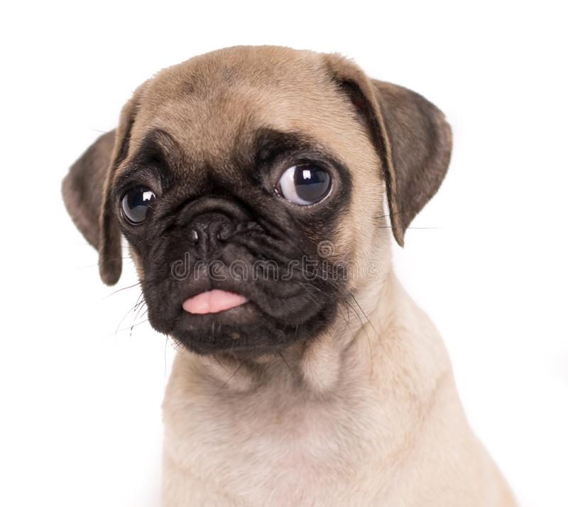 Собаки мопса щенка конца-вверх портрет небольшой прифронтовой на белой предпосылке стоковое фото rf