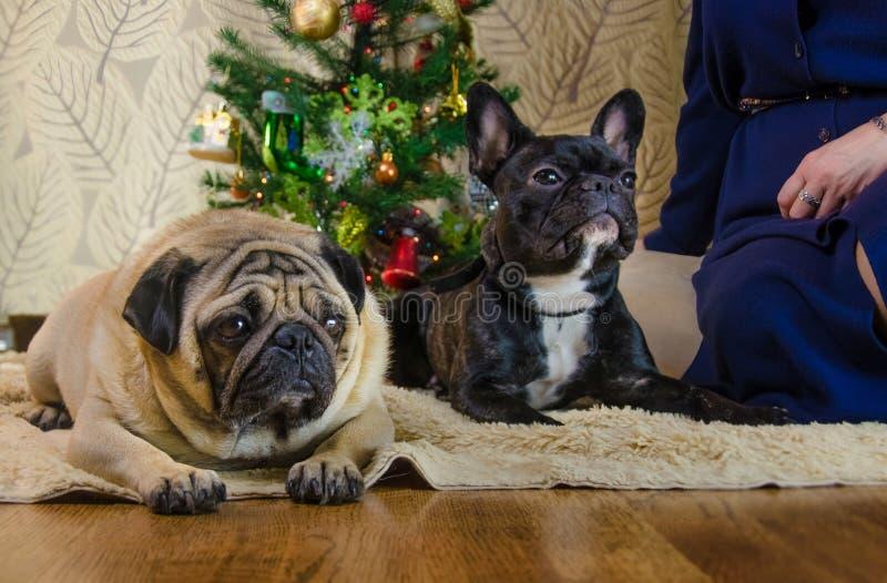 Собаки на праздниках Нового Года 2 любимца: одно из их черный, активный французский бульдог другое животное грустный беж, мопс ол стоковые фото