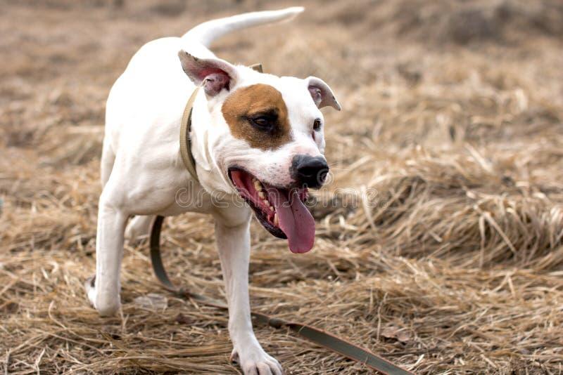 Собаки на прогулке стоковое фото