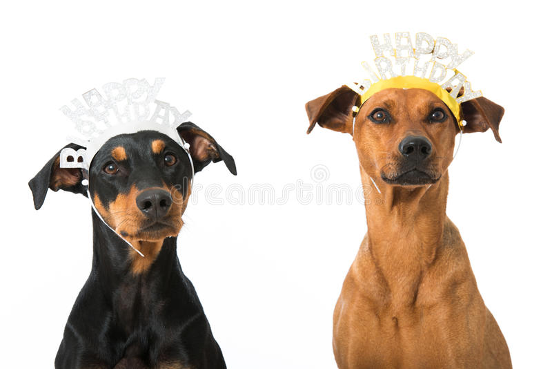 Собаки дня рождения стоковые фотографии rf
