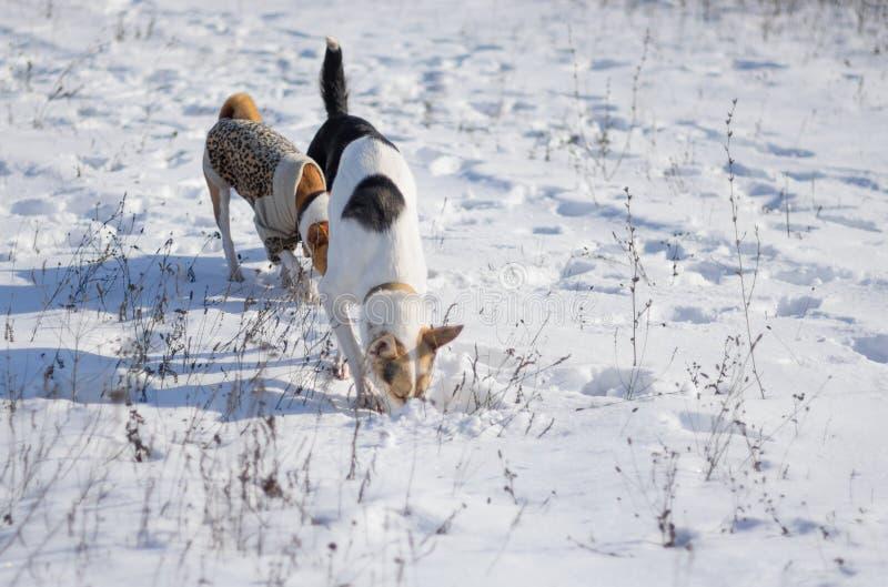 Собаки охотясь грызуны передней части малые под свежим снегом стоковая фотография rf